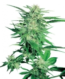 Big Bud 25 ks Fem.