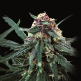 Auto Purple 50 ks Fem.