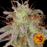 Amnesia Lemon, 10 ks, Fem.