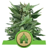 Royal Kush Automatic 3 ks Fem.
