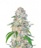 Blue Dream´matic 5ks.,Fem