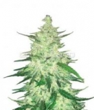 CBD Crack 3ks.,Fem.