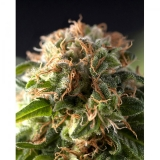 Auto Fresh Candy, 1 ks Fem.