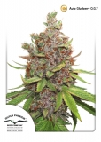 Auto Glueberry O.G 3 ks, Fem.