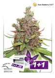 Auto Glueberry O.G. 7 ks, Fem.