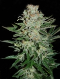 White Widow 5 ks Fem.