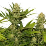 Skunk XL - 3 ks Fem.