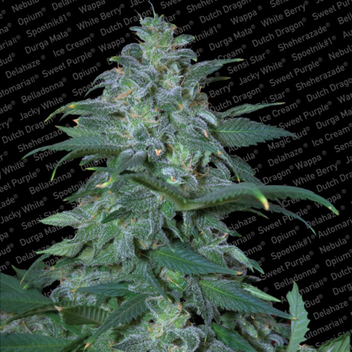 Magic Bud, 5 ks, Fem.