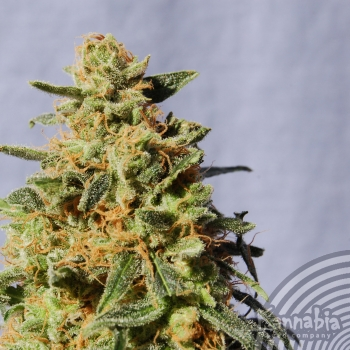 White Domina, 100 ks, Fem.