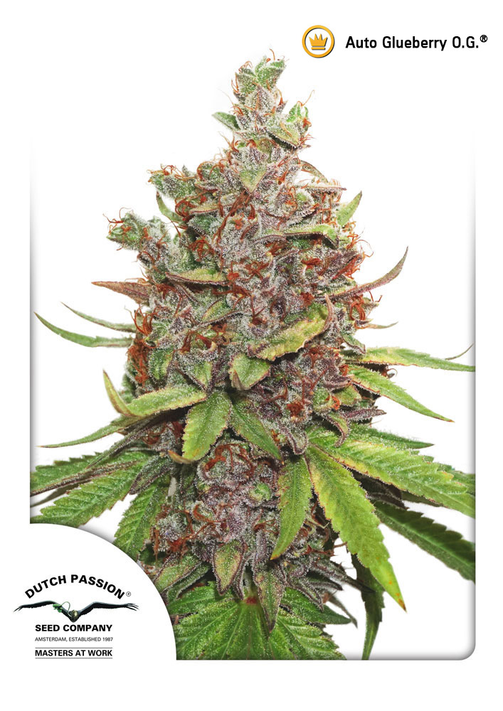 Auto Glueberry 3 ks, Fem.