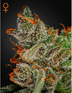 King´s Kush, 10 ks, Fem.