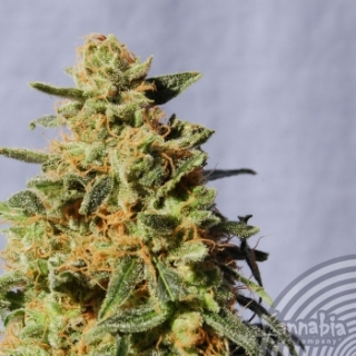 White Domina, 3 ks, Fem.