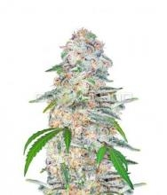Blue Dream´matic 3ks.,Fem