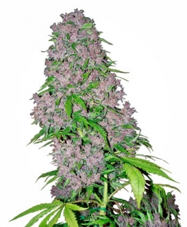 Purple Bud. 10 Ks. Fem.
