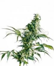 Mexican Sativa 5 Ks. Fem.