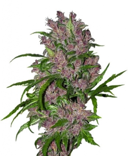 Purple Bud Automatic. 10 Ks. Fem.