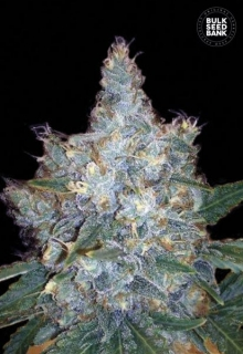 Auto Blueberry Berry 5 ks, Fem.