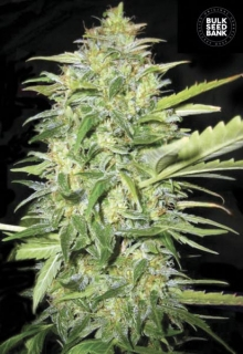 Auto Lime Skunk 5 ks, Fem.