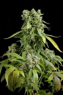 Blue Cheese Autoflowering, 1ks. Fem.