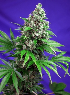 Killer Kush F1 Fast Version, 3 ks, Fem.