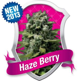 Haze Berry, 3 ks Fem.
