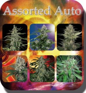 Buddha Assorted Mix autoflower - 1 ks, Fem.