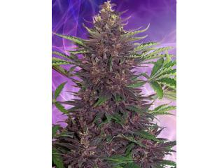 Buddha Purple Kush 1 ks, Fem.